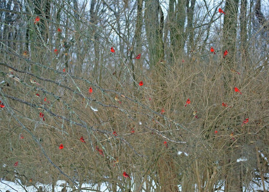 Winter Cardinals Galore by PJQandFriends Photography