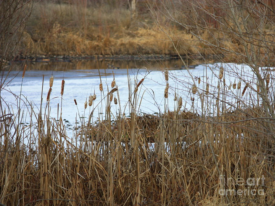 Winter Pond Photograph - Winter Cattails  by Carol Groenen