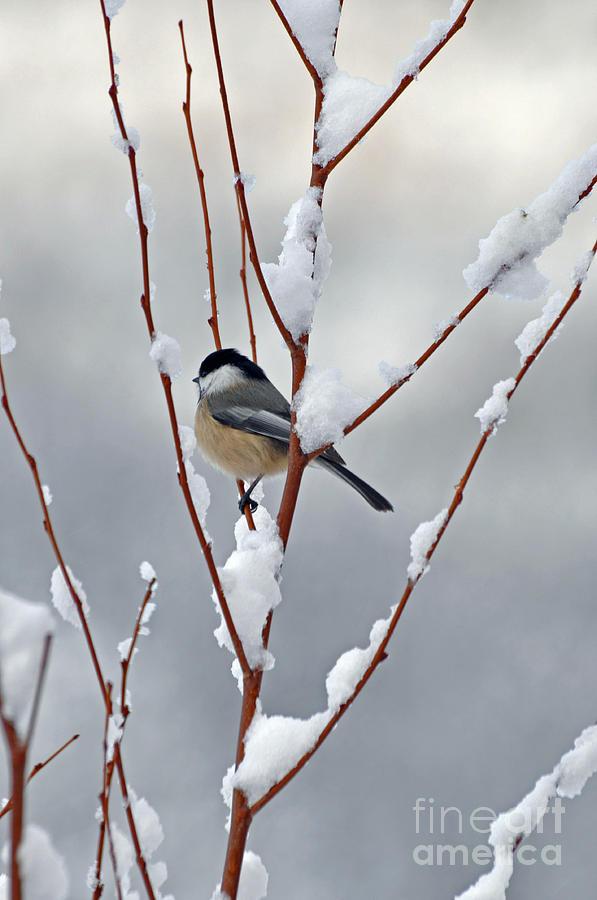 Berry Photograph - Winter Chickadee by Diane E Berry