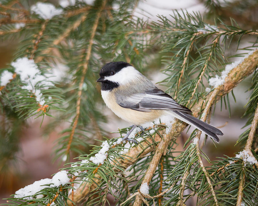 Bird Photograph - Winter Chickadee by Kimberly Kotzian