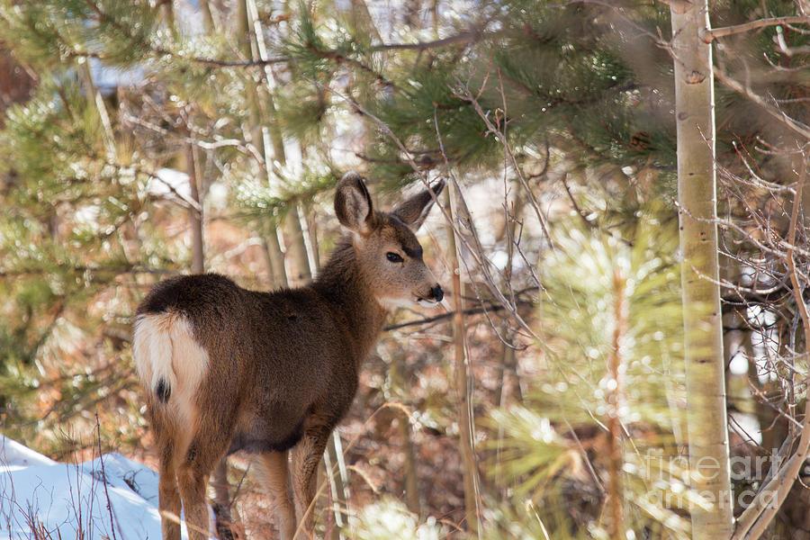Winter Deer Photograph