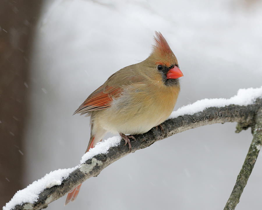 Female Cardinal in Winter - Birds and Blooms  Female Cardinal In Winter