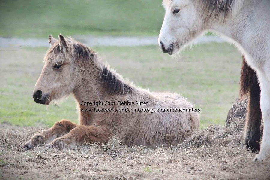 Foal Photograph - Winter Foal 2015 Buckskin by Captain Debbie Ritter