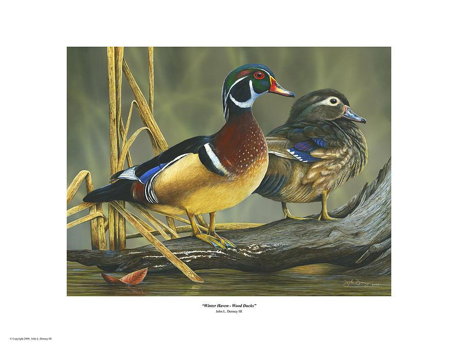 Wood Ducks Painting - Winter Haven - Wood Ducks Print by John Denney