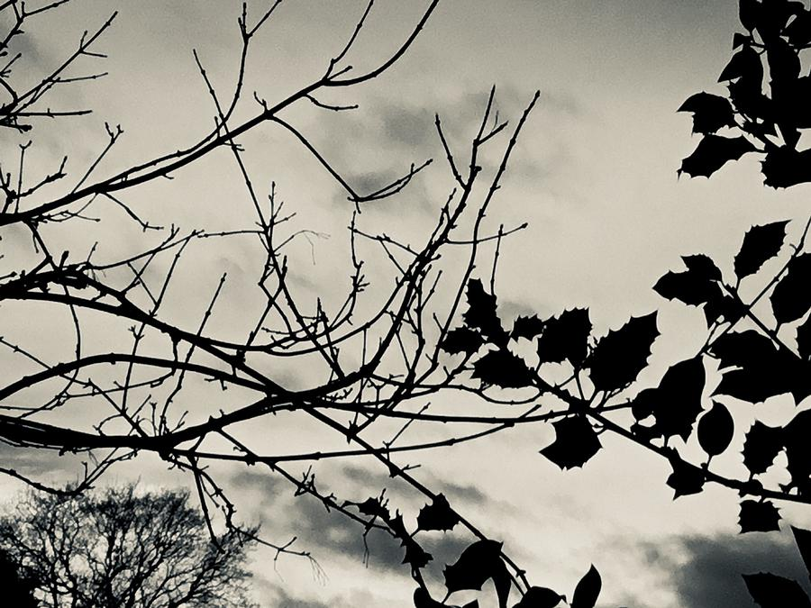 Silver Photograph - Winter holly tree silvertone by Itsonlythemoon -