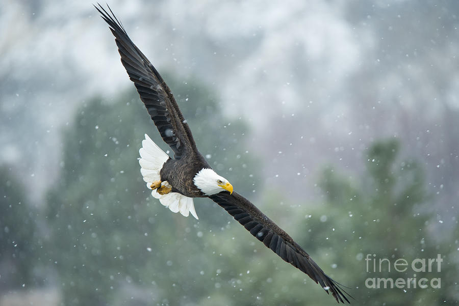 Bald Eagle Photograph - Winter Hunter by Mike Dawson