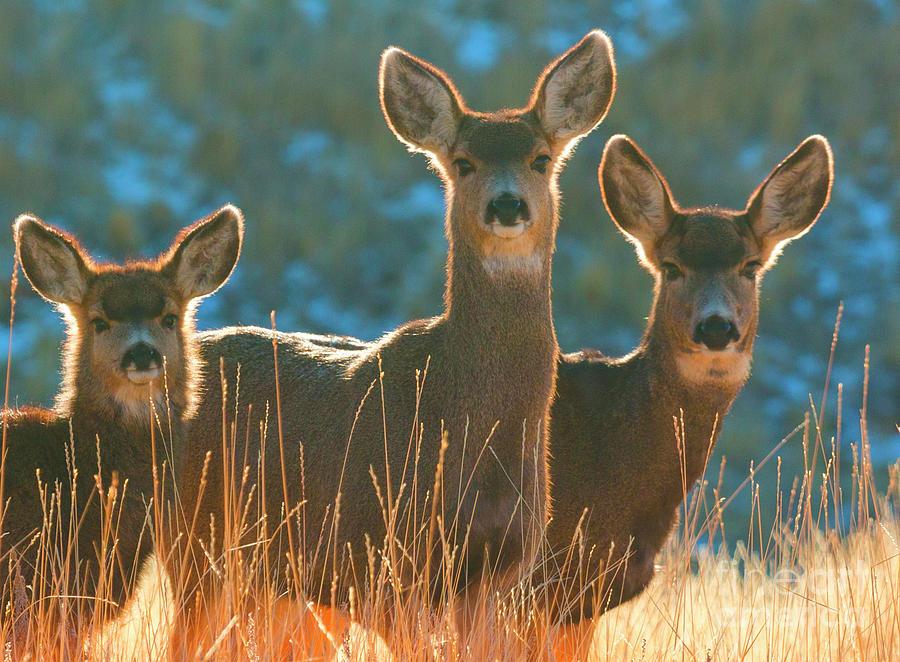 Winter Mule Deer Photograph