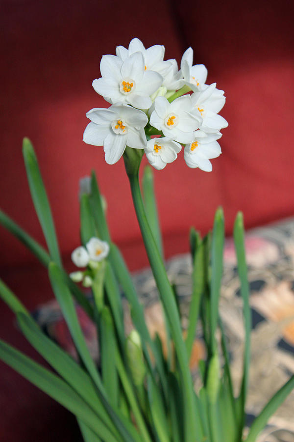 Narcissus Photograph - Winter Narcissus II by Suzanne Gaff