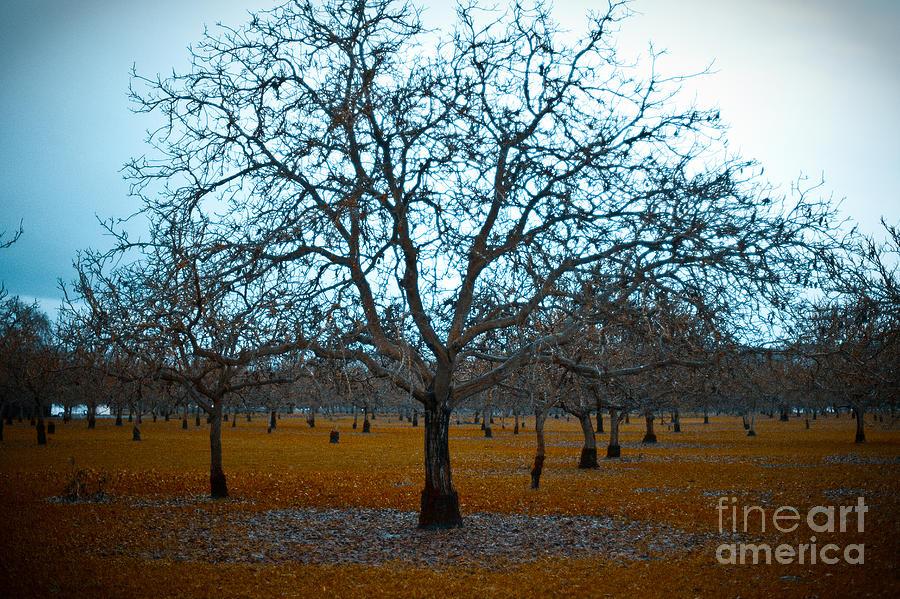 Sonoma County Photograph - Winter Orchard by Derek Selander