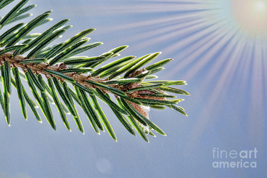 Pine Digital Art - Winter Pine Branch by Sharon McConnell