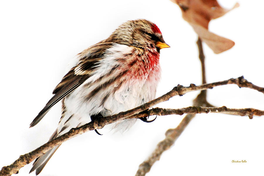 Winter Photograph - Winter Redpoll by Christina Rollo
