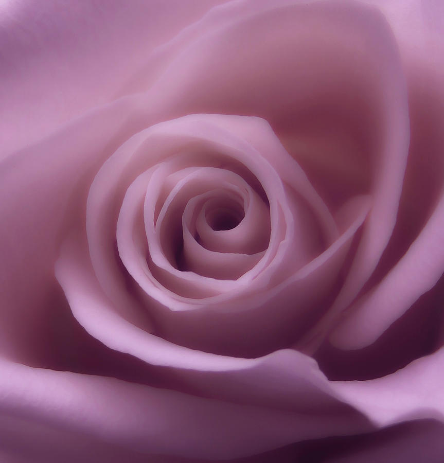 Rose Photograph - Winter Rose 7 by Johanna Hurmerinta