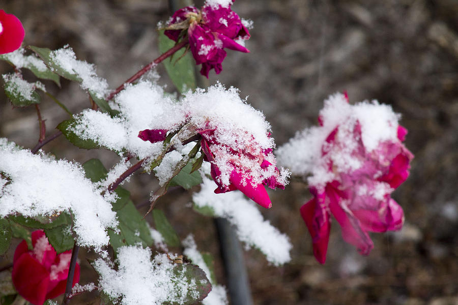 Winter Photograph - Winter Rose by Danielle Allard