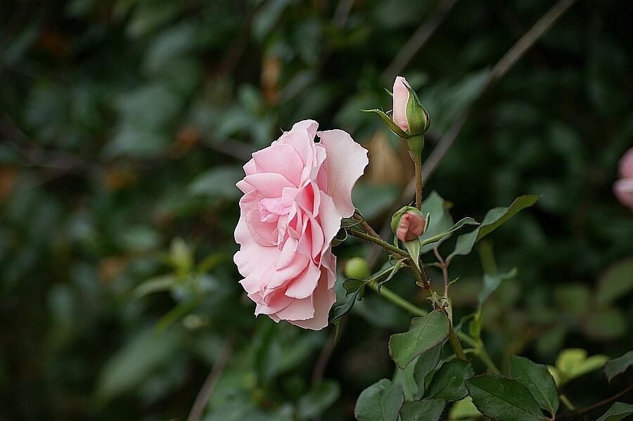 Pink Rose Photograph - Winter Rose by Rosalin Moss