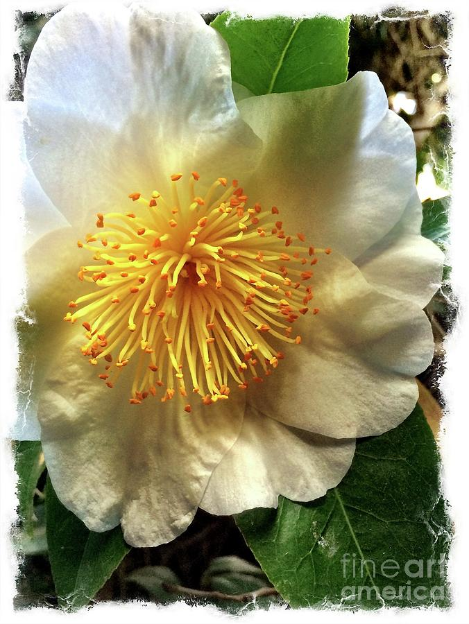 Camellia Photograph - Winter Rose by S Forte Designs