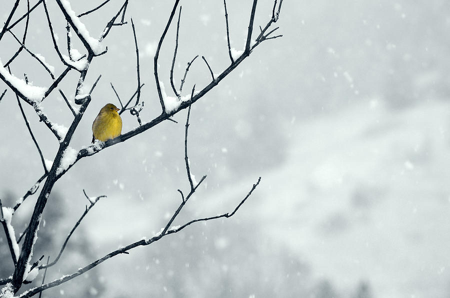 Goldfinch Photograph - Winter Snow With A Touch Of Goldfinch For Color by Laura Mountainspring