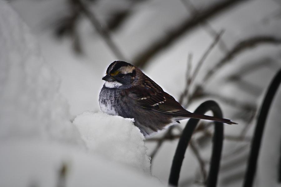 Sparrow Photograph - Winter Sparrow by Teresa Mucha