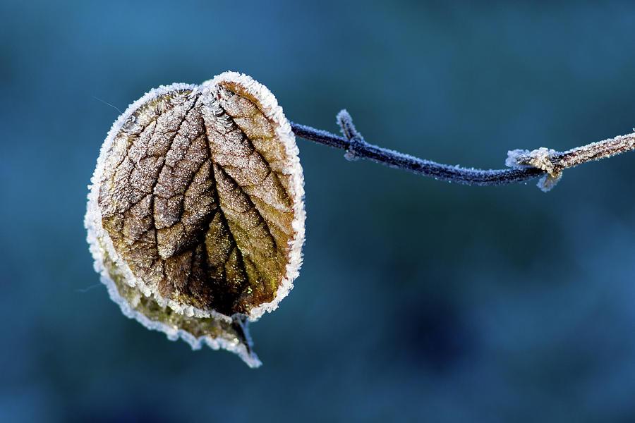 Leaf Photograph - Winter  by Stelios Kleanthous