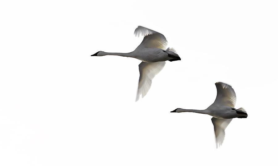 Swans Photograph - Winter Swans by David Wynia