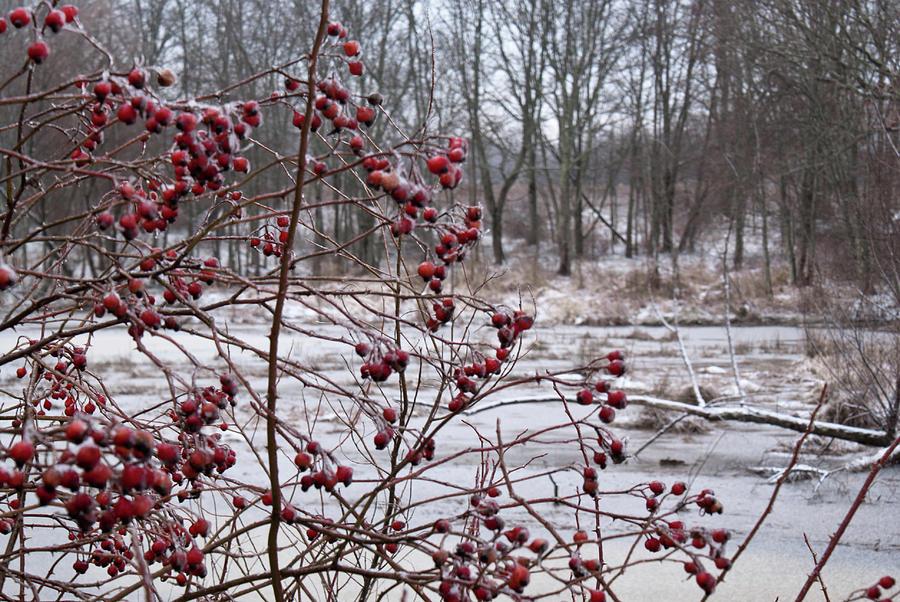 Winter Photograph - Winter Time Frozen Fruit by Douglas Barnett