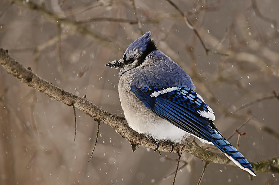 Blue Jay Photograph - Winter Visitor by Michael Cummings