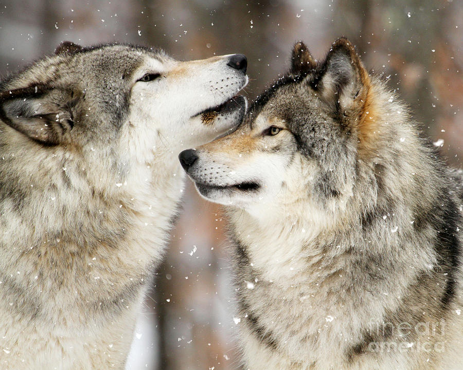 winter wolves photograph by heather king. Black Bedroom Furniture Sets. Home Design Ideas