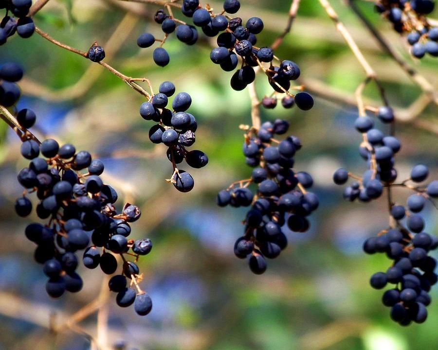 Berry Photograph - Winterberries I by Jai Johnson