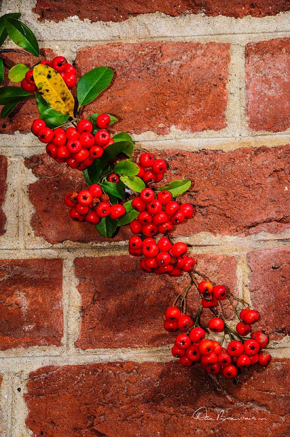 Winterberry 0028 Photograph