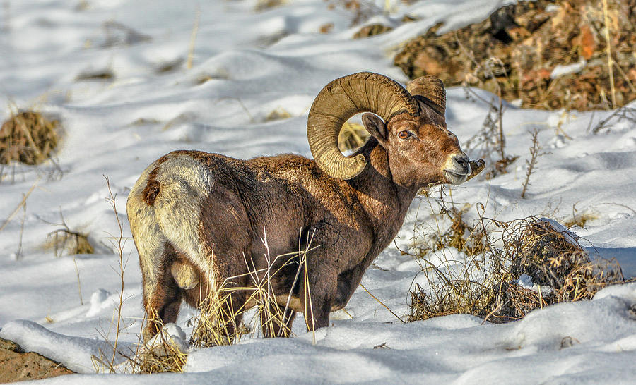Wintering Bighorn by Jason Brooks