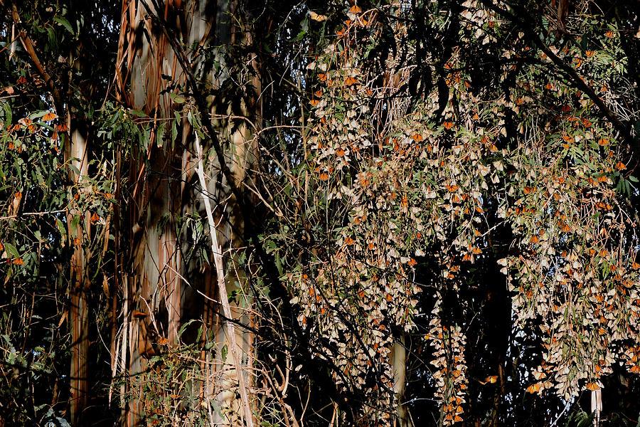Wintering Monarchs Photograph