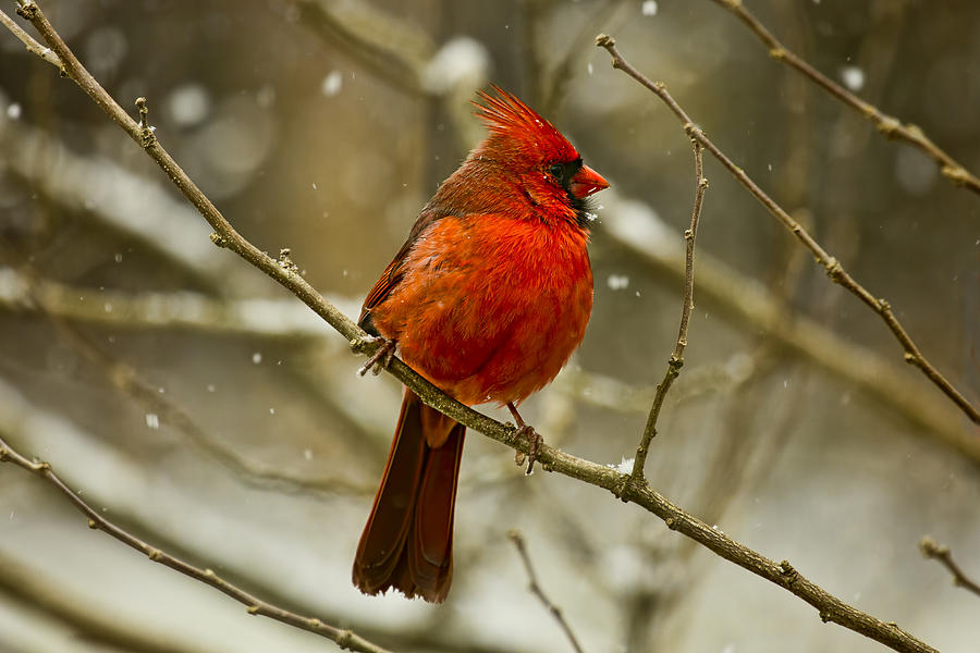 Wintry Cardinal by Patricia Montgomery