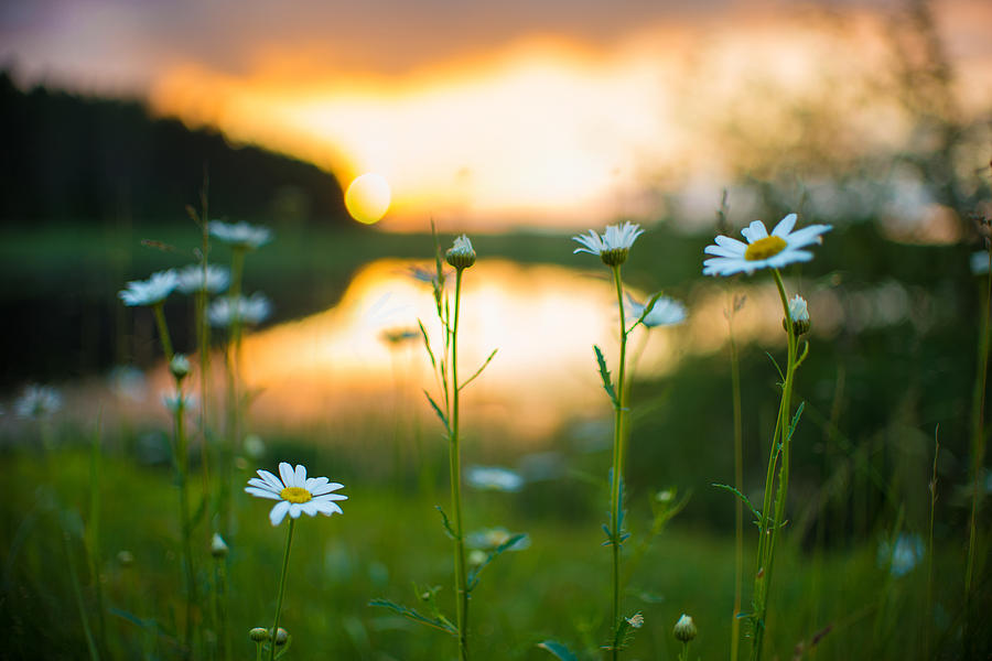 Wisconsin Daisies at Sunset by Alex Blondeau