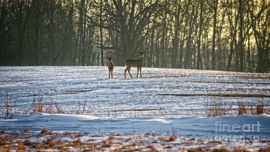 Wisconsin Whitetail Deer by Ms Judi