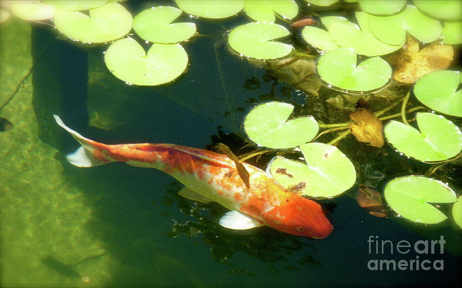 Koi Photograph - Wisdom by Amy Strong