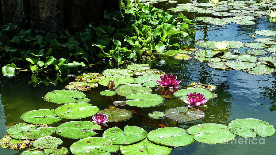 Water Lilies Photograph - Wishes Among The Water Lilies by Methune Hively