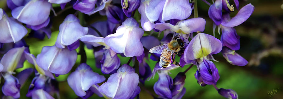 Wisteria Photograph - Wisteria Bee by Rick Lawler