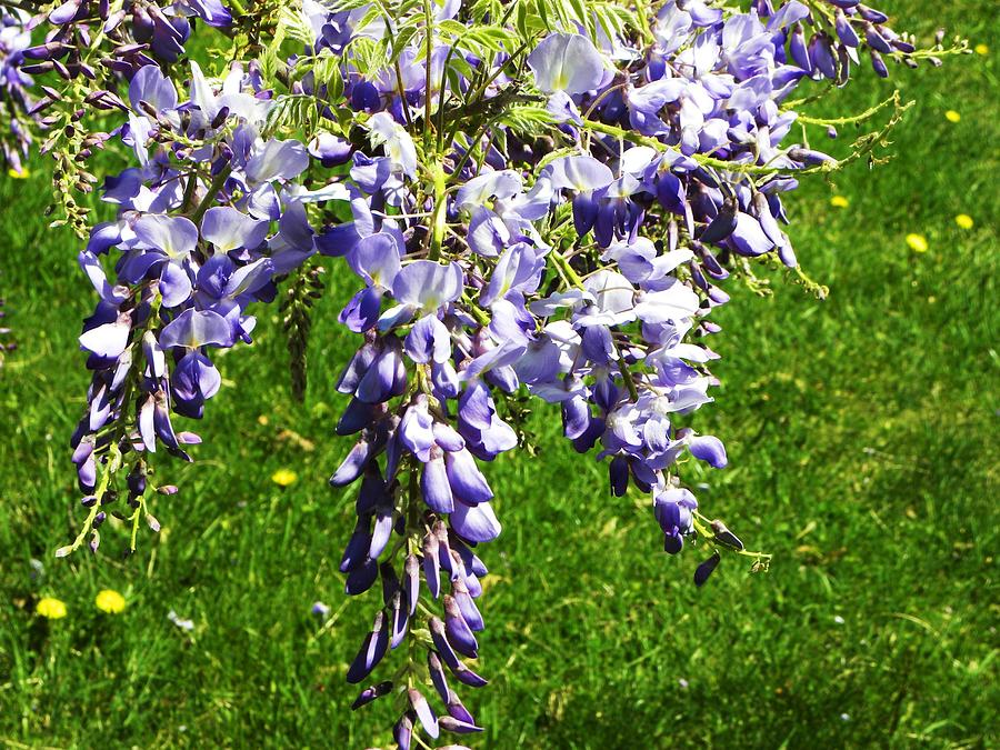 Flowers Photograph - Wisteria by Cindy Gacha