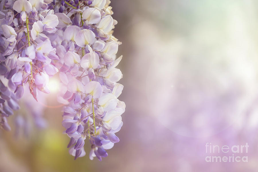 Wisteria Photograph - Wisteria Flowers In Sunlight by Jane Rix