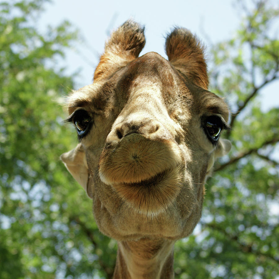 Giraffe Photograph - With Love from SA by Brandy Herren