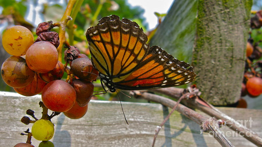 Butterfly Photograph - With The Grape by PJ  Cloud
