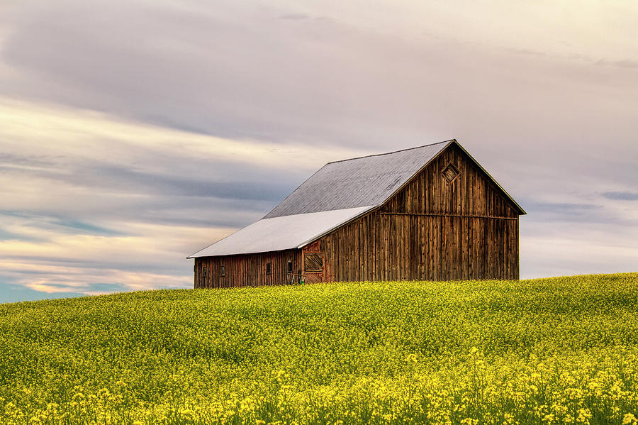 Canola Photograph - Withdrawn by Mark Kiver
