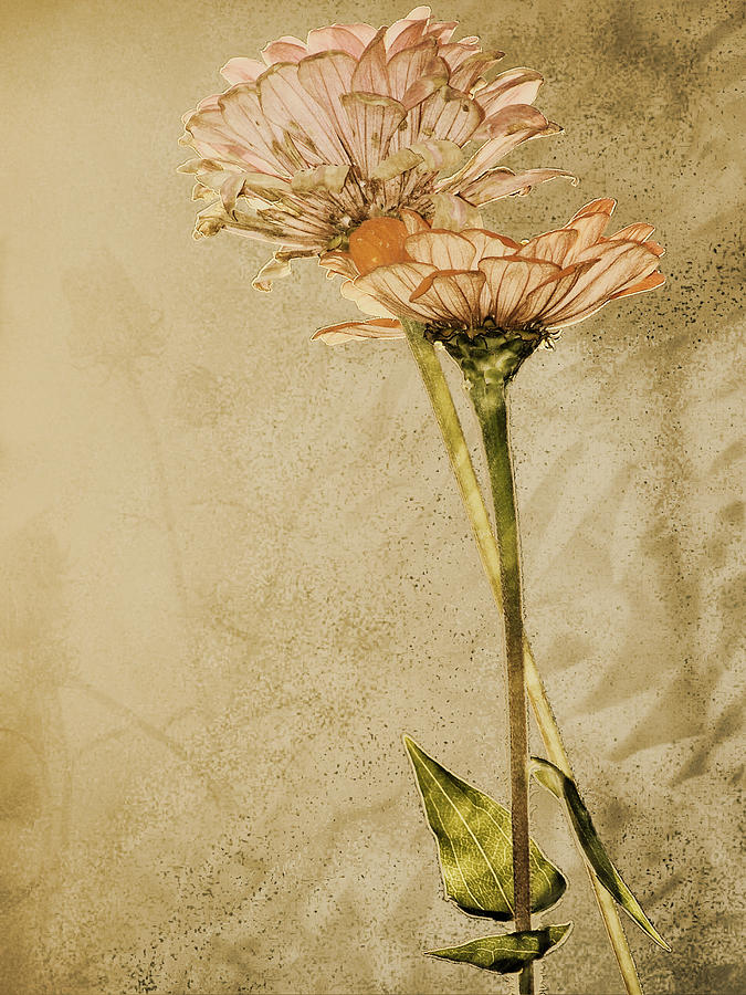 Flower Photograph - Withered by Sally Engdahl