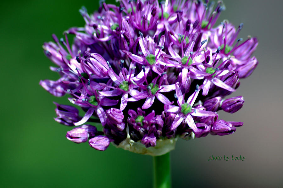 Purple Photograph - Within Royality by Becky Carpenter