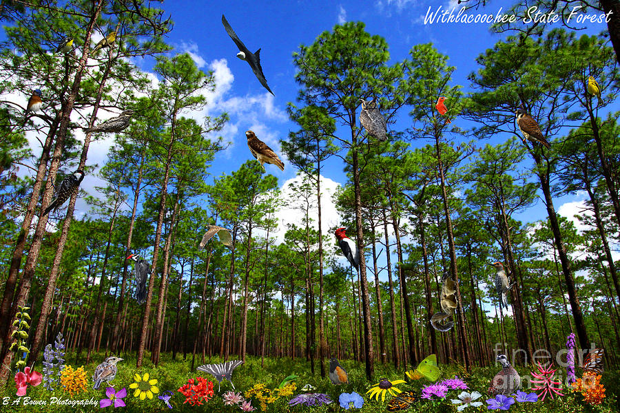 Withlacoochee State Forest Photograph - Withlacoochee State Forest Nature Collage by Barbara Bowen