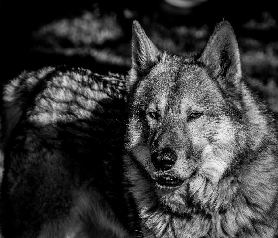 Wolf Beauty Photograph