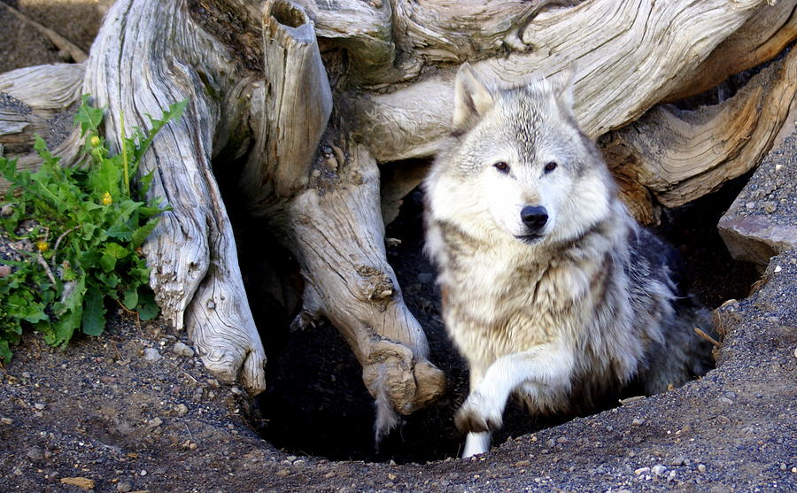 Wolf Photograph - Wolf Den 1 by Marty Koch