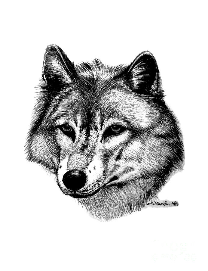 Wolf In Pencil Drawing
