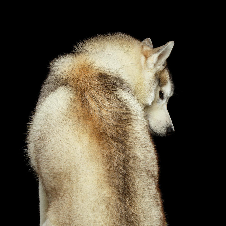 Husky Photograph - Wolf in soul by Sergey Taran
