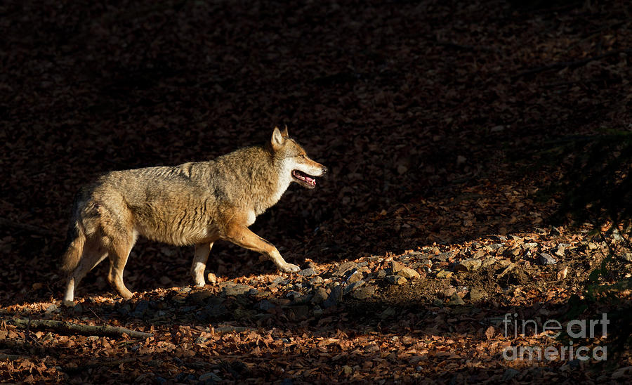 Wolf Photograph - Wolf In Woodland by Richard Garvey-Williams