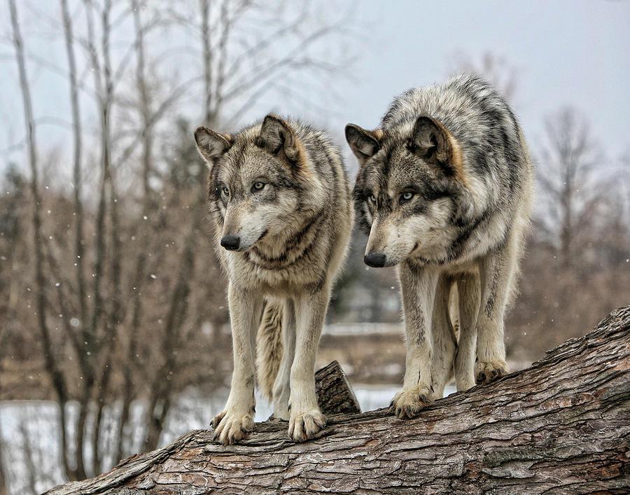 Wolf Pair Photograph by Shari Jardina